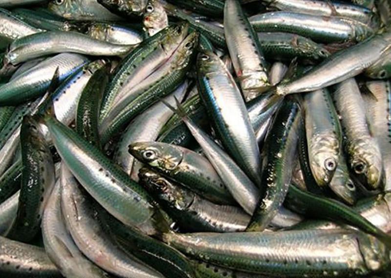 Oceana sues NMFS over California sardine management