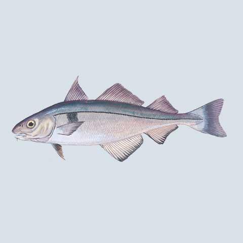 Groundfish