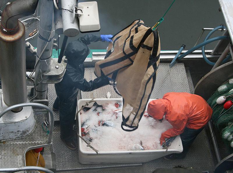 Offloading salmon in Petersburg, Alaska. Jessica Hathaway photo.