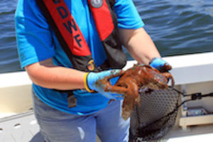 A small Kemp's Ridley turtle, recovered during cleanup operations following the 2010 Deepwater Horizon oil spill. Louisiana Department of Wildlife and Fisheries photo.